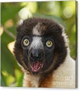 portrait of a sifaka from Madagascar Canvas Print