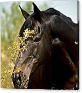 Portrait Of A Thoroughbred Canvas Print