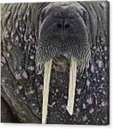 Portrait Of A Walrus Canvas Print