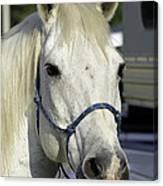 Portrait Of A White Horse Canvas Print