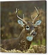 Portrait Of A White Tailed Buck Canvas Print