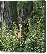 Portrait Of A Whitetail Fawn II Canvas Print