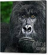 Portrait Of A Wild Mountain Gorilla Silverbackhighly Endangered Canvas Print