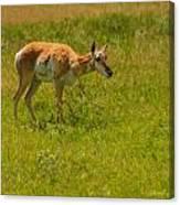 Portrait Of A Young Pronghorn Canvas Print
