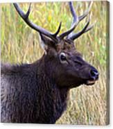 Portrait Of An Elk Canvas Print