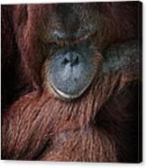 Portrait Of An Orangutan Canvas Print