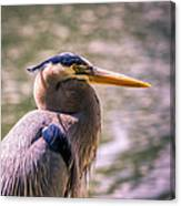 Portrait Of Ardea Herodias Canvas Print
