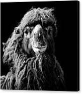Portrait Of Camel In Black And White Canvas Print