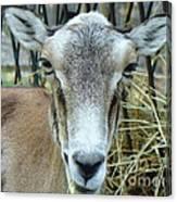 Portrait Of Mouflon Ewe Canvas Print