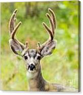 Portrait Of Mule Deer Buck With Velvet Antler  Canvas Print