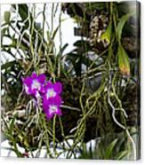 Portrait Of Orchids Canvas Print