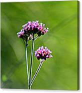 Portrait Of Purple Verbena Canvas Print