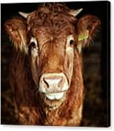 Portrait Of Young Cow Canvas Print
