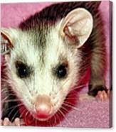 Poser Possum Canvas Print