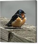 Posing Barn Swallow Canvas Print