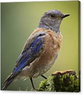 Posing Bluebird Canvas Print