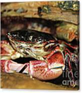 Posing Crab Canvas Print