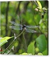Posing Dragonfly Canvas Print