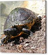 Possible Cooter Turtle Canvas Print