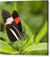 Postman Butterfly On Green Canvas Print