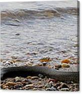 Potomac Water Snake Canvas Print