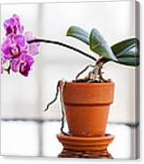Potted Pink Orchid Canvas Print