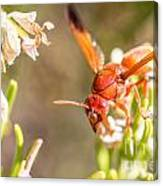 Potter Wasp Female Canvas Print