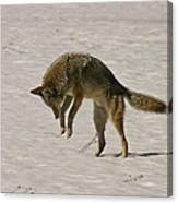 Pouncing Coyote Canvas Print