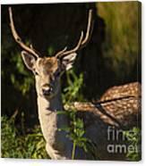 Powderham Deer  Canvas Print