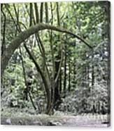 pr 136 - Bowed Tree Canvas Print