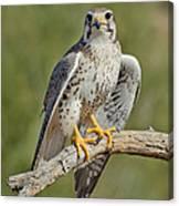 Praire Falcon On Dead Branch Canvas Print