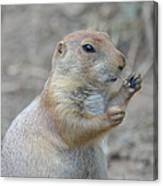 Prairie Dog Cleaning His Teeth Canvas Print
