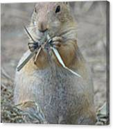 Prairie Dog Food Canvas Print