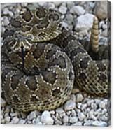 Prairie Rattlesnake South Dakota Badlands Canvas Print