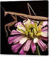 Praying Mantis On Zinnia Canvas Print