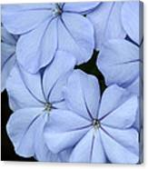 Prettiest Plumbago Canvas Print