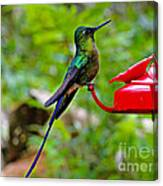 Pretty Blue-tailed Hummer In Mindo Canvas Print