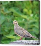 Pretty Dove Canvas Print