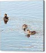 Pretty Ducks Canvas Print