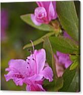 Pretty Fuschia Rhododendron Canvas Print