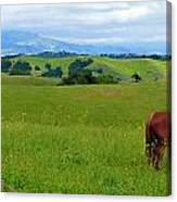 Pretty Horse Grazing In Rolling Hills Canvas Print