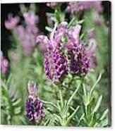 Pretty In Lavender I Canvas Print