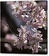 Pretty In Pink Blossom  Canvas Print