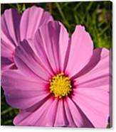 Pretty In Pink Cosmos Canvas Print