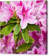 Pretty In Pink - Spring Flowers In Bloom. Canvas Print