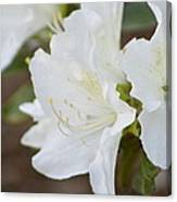 Pretty In White Azalea  Canvas Print