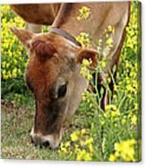 Pretty Jersey Cow Square Canvas Print