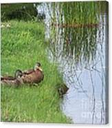 Mated Pair Of Ducks Canvas Print