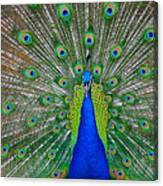 Pretty Peacock Canvas Print