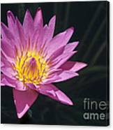 Pretty Pink And Yellow Water Lily Canvas Print